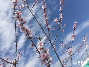 2016.3.21 アーモンドの花 (1).jpg