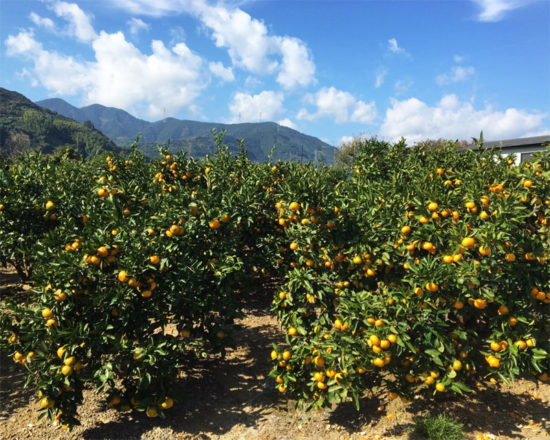 Mandarin orange picking <Suzuki farm>