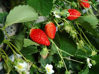 Strawberry picking <) to play whether you double strawberry bloom garden (>