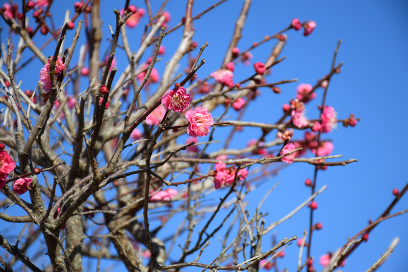 The 23rd Nihondaira plum Festival