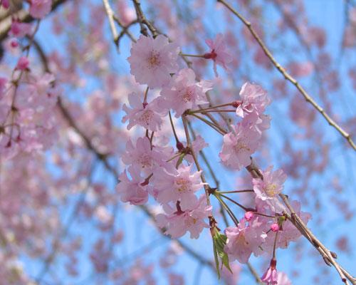 徳山・桃沢周辺の桜と枝垂れ桜[...