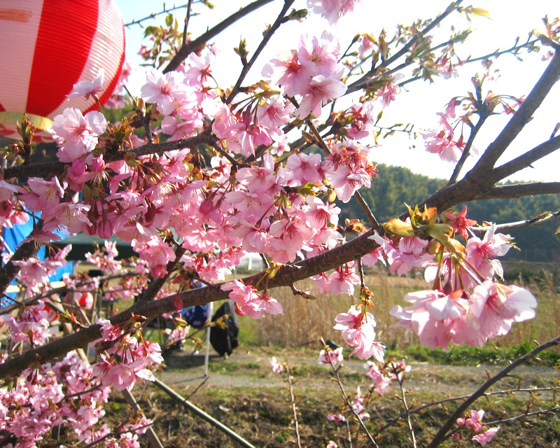 Cherry blossoms of hemp machine play Suichi