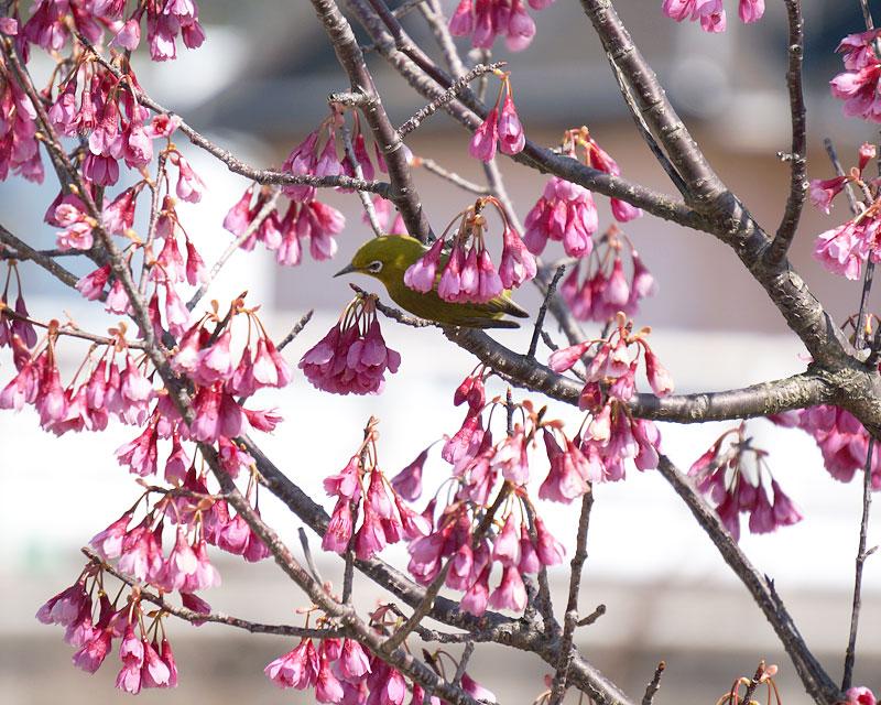 寒緋桜&メジロ