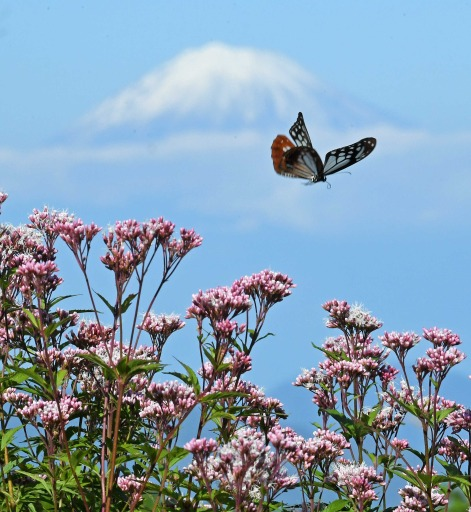 富士を背に舞う 旅するチョウ「アサギマダラ」静岡・日本平に|あなた ...